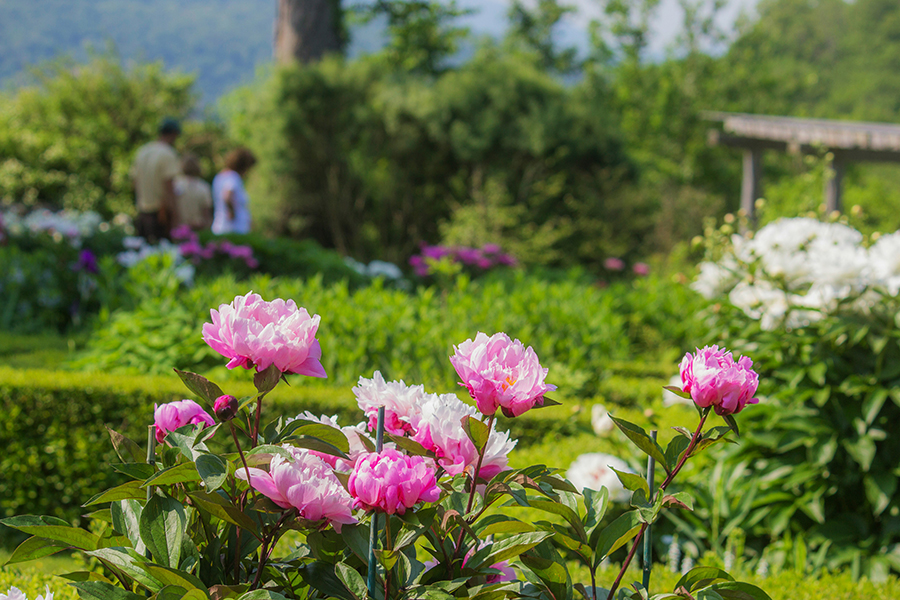 Celebration of the Peonies