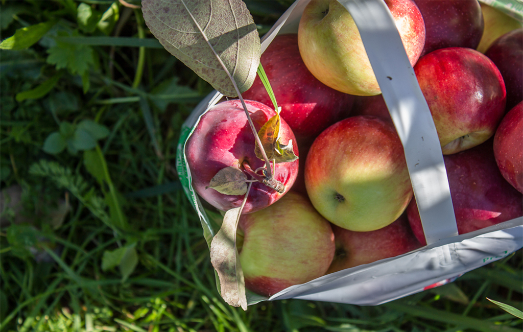 apple picking bag of apples