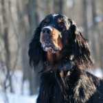 setter-gordon-in-the-forest-2