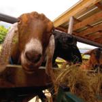 hildene-goats