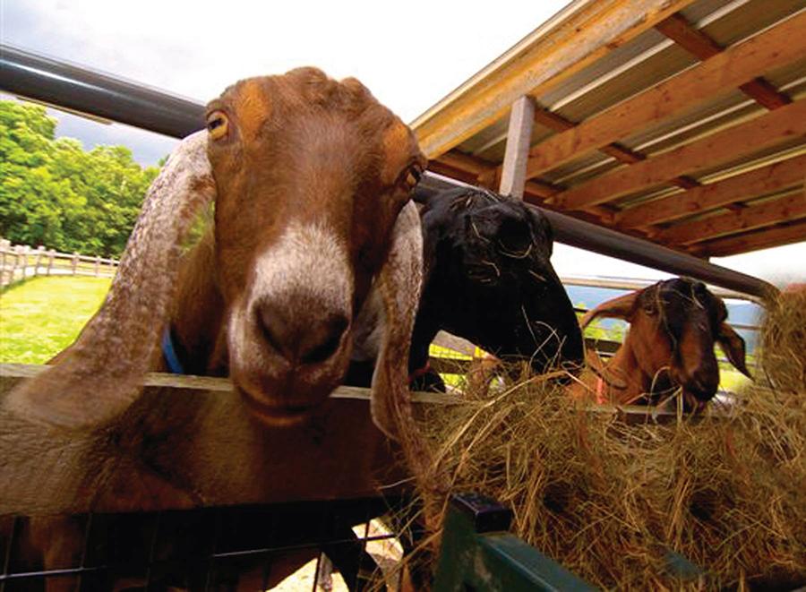 Hildene Goats